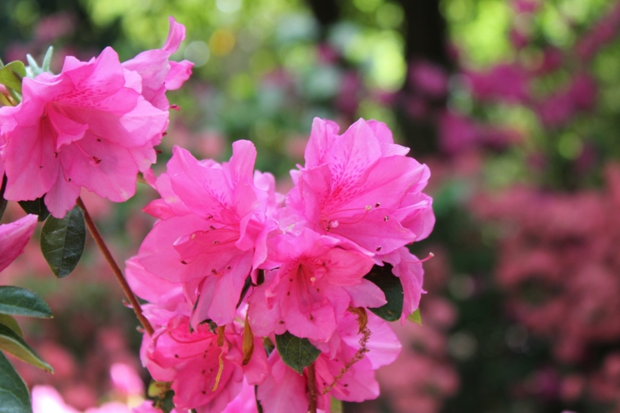 Azalea Festival - April in Muskogee, Oklahoma
